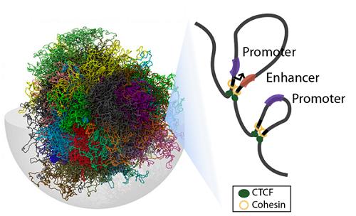 3차원 게놈 구조 모식도.png