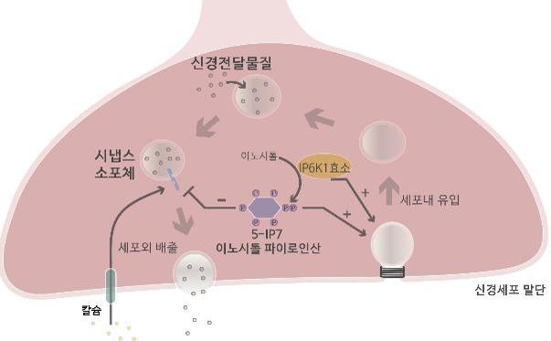 김세윤 교수님_이노시톨 파이로인산에 의한 신경전달물질 분비 조절 모식도.jpg